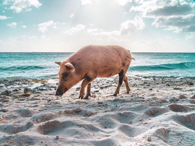 protein tozu domuz içermesi